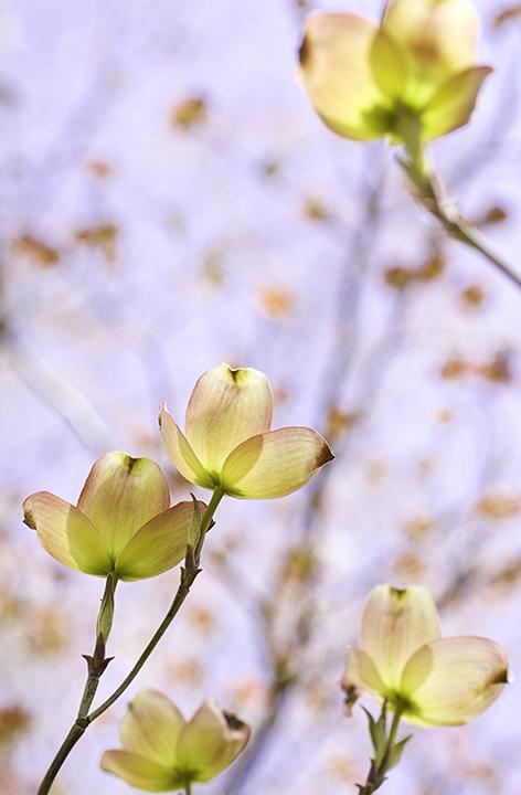 Dogwood in bloom.